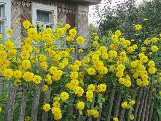 Золотые шары фото цветок
